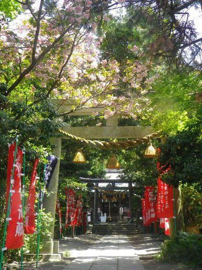 01) 15.04.24 鎌倉大町「八雲神社」の八重桜