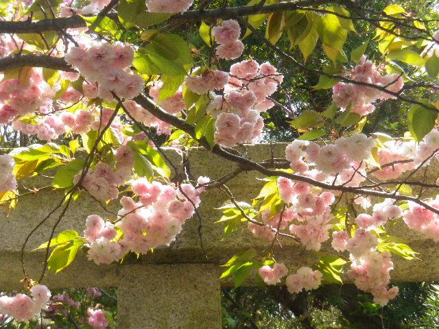 02-2) 15.04.24 鎌倉大町「八雲神社」の八重桜