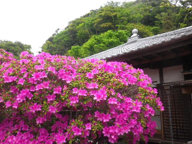 03-2) 15.05.05 ツツジがピークの、鎌倉「安養院」。