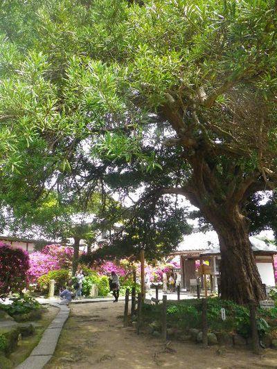 04-1) 15.05.05 ツツジがピークの、鎌倉「安養院」。