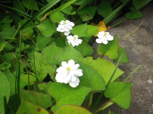 45-3) 八重咲きの ドクダミ