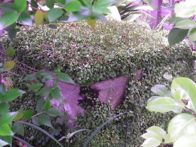 46) 手水舎の奥で見つけた、枡状のコンクリートに繁茂した植物。