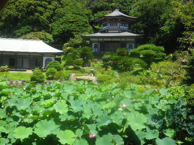 00-1)   15.08.05 鎌倉「光明寺」今日は古代蓮も咲いていた