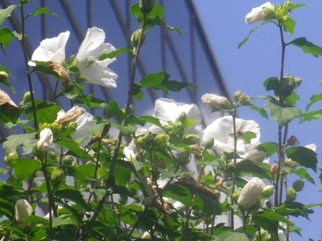 02-2) _ 15.08.09 鎌倉「大巧寺」初秋と呼ぶには早過ぎの感あり、立秋の翌日。