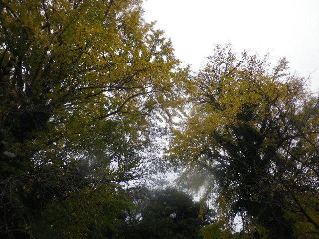 01-4) 二本並んで立つ銀杏の大木