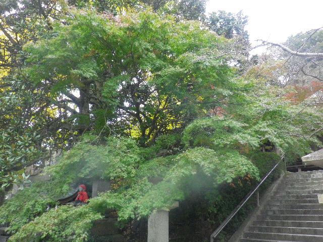 02) 紅葉が待ち遠しいカエデ?の大木