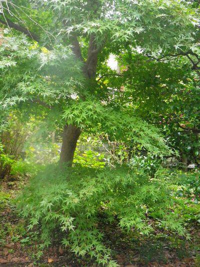 06) 紅葉が待ち遠しい、細く見えてしまう庭木。