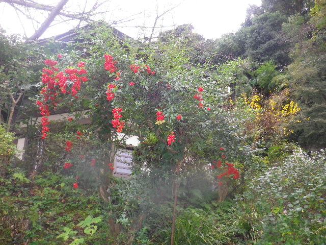 08) センリョウか? マンリョウか? 名を知らぬ木の赤い実