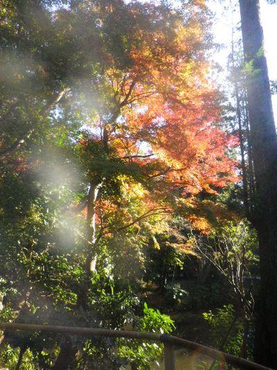 02-3) ' 柳原神池 ' 周辺 _ 15.11.30 鎌倉「鶴岡八幡宮」葉が色づき始める頃