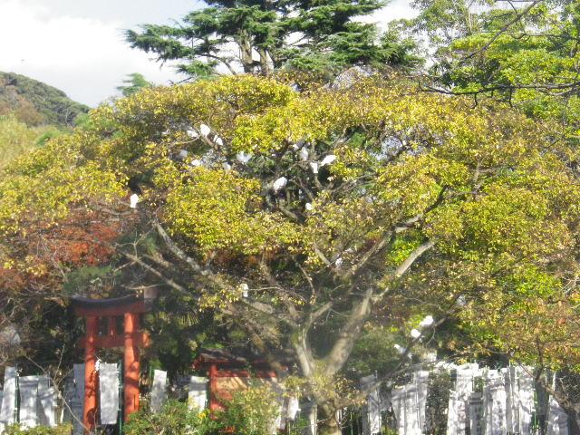 04-3a) ' 旗上弁財天社 ' の木に留まる白鳩を撮ったつもり _ 15.11.30 鎌倉「鶴岡八幡宮」葉が色づき始める頃