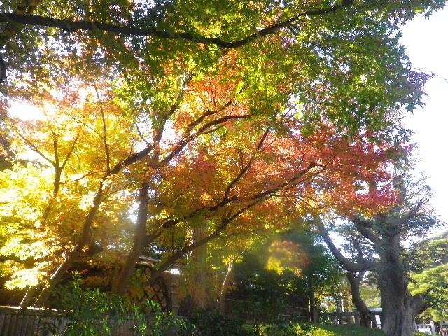 06) ' 神苑ぼたん庭園 ' 方向 _ 15.11.30 鎌倉「鶴岡八幡宮」葉が色づき始める頃