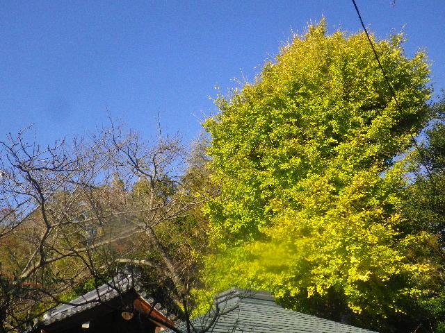 04-1)  15.11.30 鎌倉「浄光明寺」葉が色づく頃