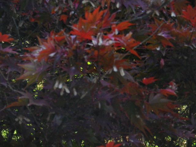 05-2)  15.11.30 鎌倉「浄光明寺」葉が色づく頃