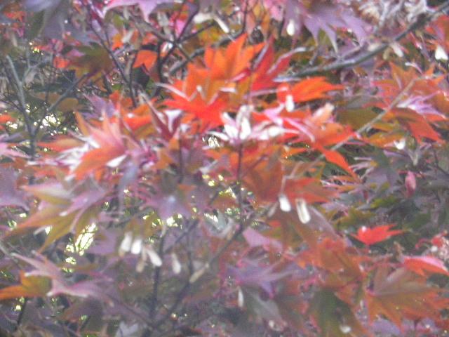 05-3)  15.11.30 鎌倉「浄光明寺」葉が色づく頃