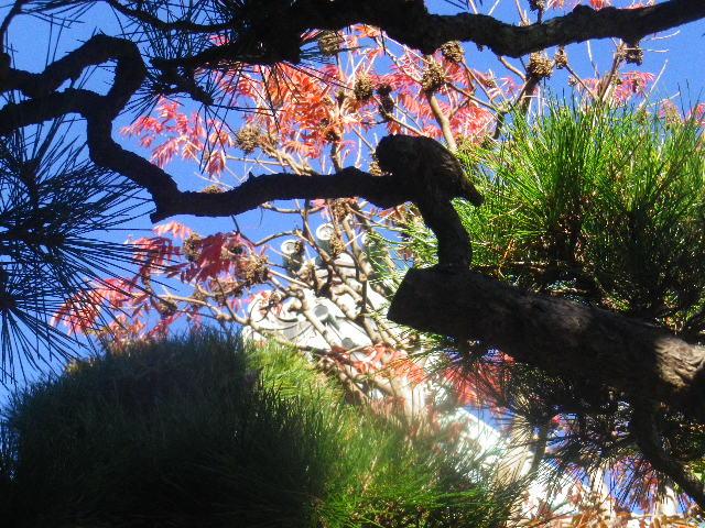 15) 松の間から見上げた紅葉(こうよう)