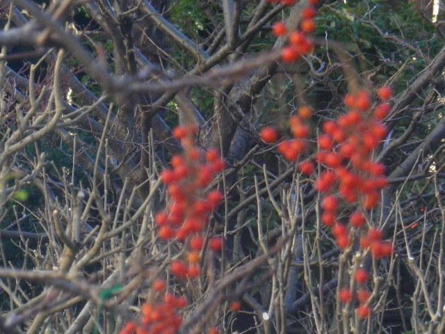 18-2) 18-1)左から伸びた枝で左上方が逆光なので、右下へ伸びた枝の実を藪を背景に撮ったつもり。