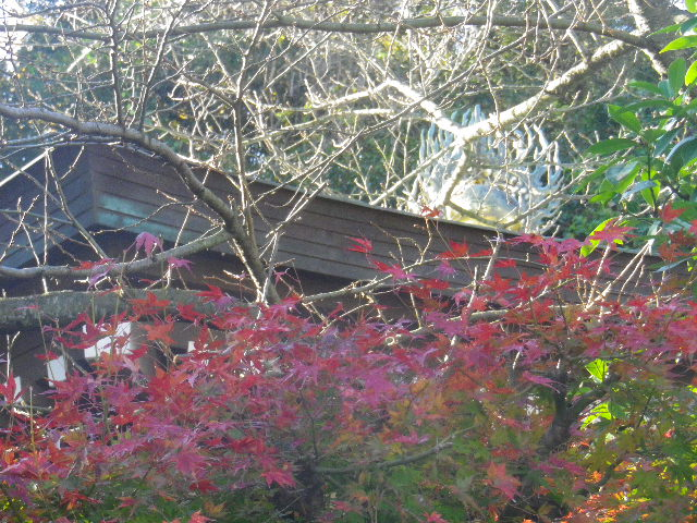 05)   15.12.12 鎌倉「長勝寺」枯木は紅葉の終焉を迎え、若木は未だ楽しめる。