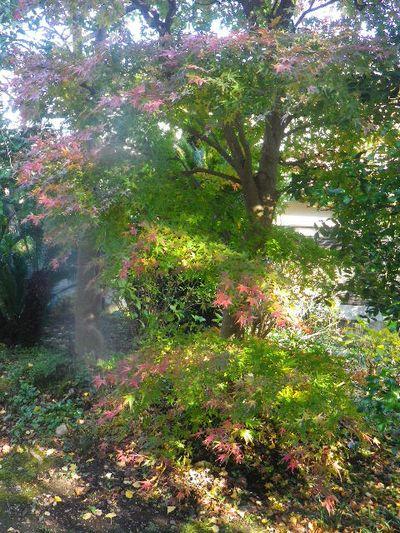 07)   15.12.12 鎌倉「長勝寺」枯木は紅葉の終焉を迎え、若木は未だ楽しめる。