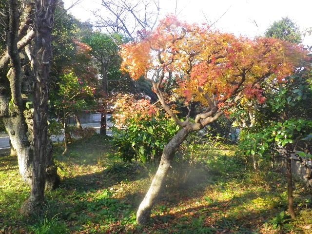 08)   15.12.12 鎌倉「長勝寺」枯木は紅葉の終焉を迎え、若木は未だ楽しめる。