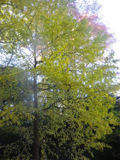09-4)   15.12.12 鎌倉「安国論寺」連日の強風を豪雨にも耐えた紅葉と黄葉