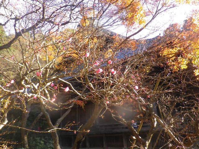 12-1) 桃色の梅