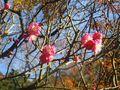 12-2) 桃色の梅