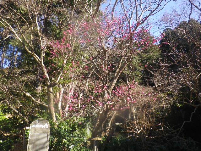 02-1)   16.01.25 消防訓練日だった、鎌倉「妙本寺」の梅。