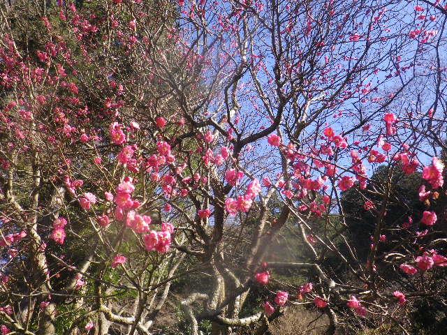02-2)   16.01.25 消防訓練日だった、鎌倉「妙本寺」の梅。