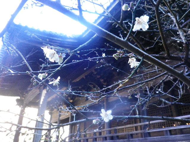 06-2)   16.01.25 消防訓練日だった、鎌倉「妙本寺」の梅。