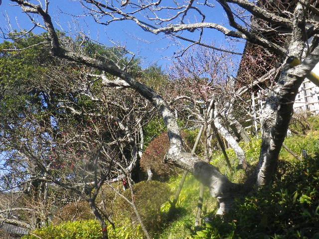 03-1) 階段左側の梅 _ 16.01.27 鎌倉「荏柄天神社」梅満開の頃に初詣