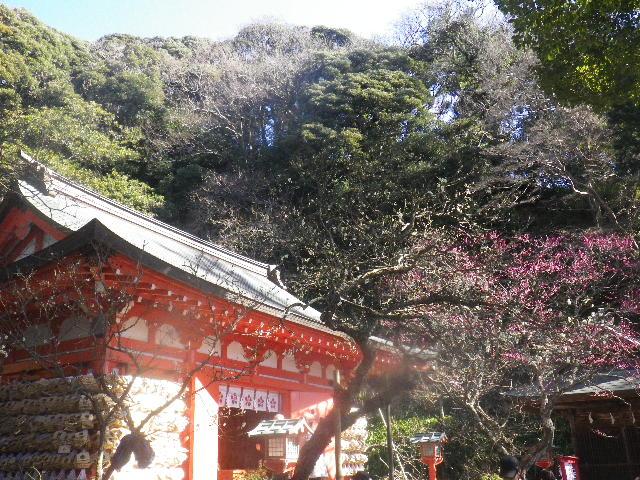07-1) これでも、手前の白い梅(社殿に向かって左)と 奥の梅を重ねて撮ったつもり。