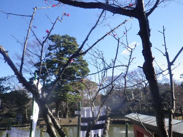 """02-1) ・・・ ・・・"""" 旗上弁財天社 """" へ行ったら、社殿裏の紅梅は咲き始めていた。社殿前境内の白梅は少し先。  _ 16.01.27 鎌倉「鶴岡八幡宮」の梅"""