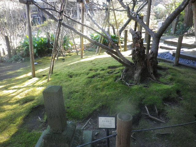 03-2) 妙法桜と呼ばれる、天然記念物 ヤマザクラ。