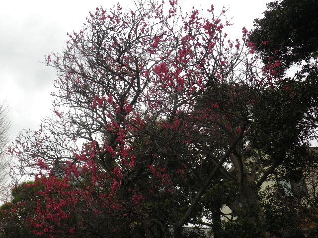 02-1) 手水舎周辺背後の紅梅 _ 16.02.24 本堂改修の足場を解かれた 鎌倉「本覚寺」、祝うように咲く梅と河津桜。