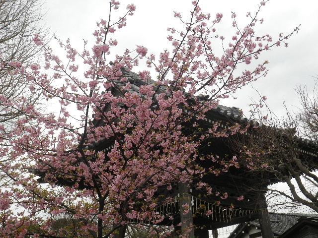 03-1) 鐘楼周辺の河津桜 _16.02.24 本堂改修の足場を解かれた 鎌倉「本覚寺」、祝うように咲く梅と河津桜。