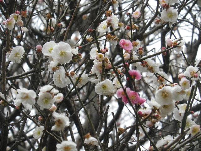 01-3) 16.02.24 満開前で、私にとって見頃の梅 鎌倉「宝戒寺」。