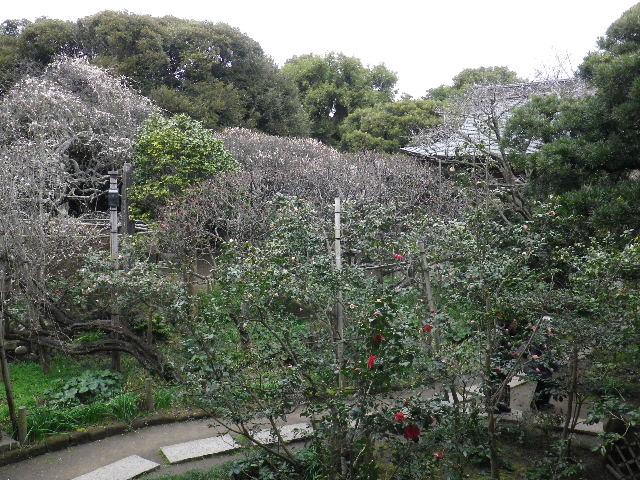 07) 16.02.24 満開前で、私にとって見頃の梅 鎌倉「宝戒寺」。