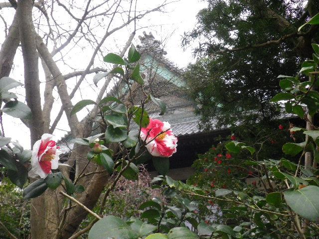 17) 16.02.24 満開前で、私にとって見頃の梅 鎌倉「宝戒寺」。