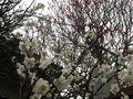 11-2) 16.02.24 満開前で、私にとって見頃の梅 鎌倉「宝戒寺」。