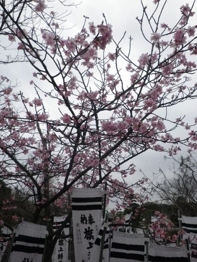"02-3b) "" 旗上弁財天社 ""  の河津桜 _ 16.02.24 雪が降りそうな日、立春を大きく過ぎたことに気づいた 鎌倉「鶴岡八幡宮」。"