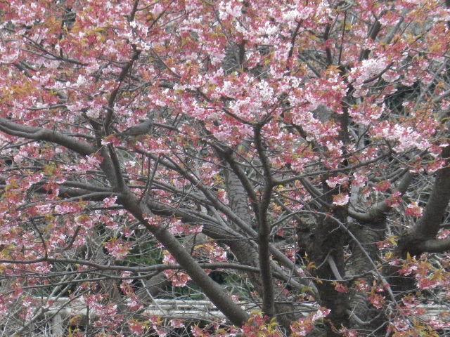 03-2) ' 源氏池 ' 中之島の河津桜 _ 16.02.24 雪が降りそうな日、立春を大きく過ぎたことに気づいた 鎌倉「鶴岡八幡宮」。