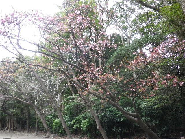 """04-1) """" 流鏑馬馬場道 """" 西の、すっかり葉が出揃ったヤマザクラ _ 16.02.24 雪が降りそうな日、立春を大きく過ぎたことに気づいた 鎌倉「鶴岡八幡宮」。"""