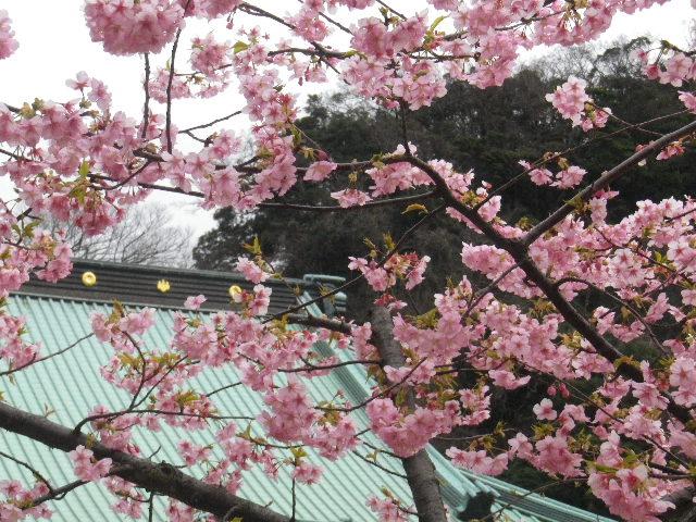 01-2) 寺務所前の河津桜 _ 16.02.24 鎌倉「光明寺」の河津桜」