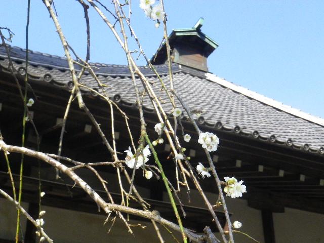 09-2) 16.03.04 鎌倉「光則寺」梅が咲く頃