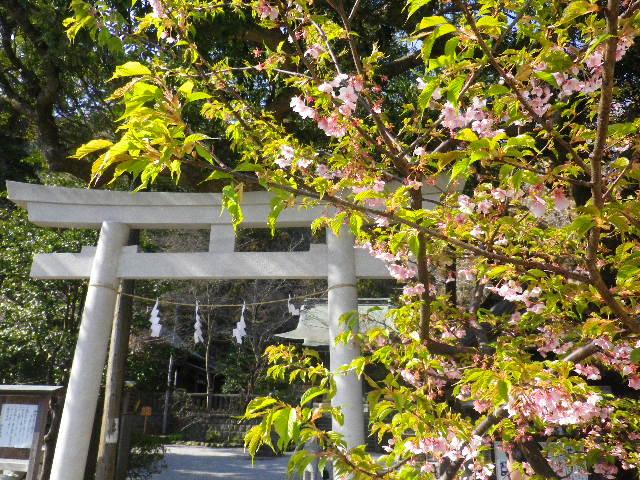 01-1) 河津桜 _ 16.03.04 鎌倉「御霊神社」の河津桜と若木の梅