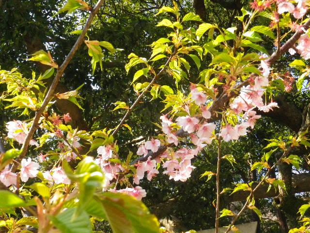 01-2) 河津桜 _ 16.03.04 鎌倉「御霊神社」の河津桜と若木の梅