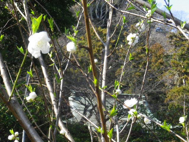02-2) 線路際境内の梅 _ 16.03.04 鎌倉「御霊神社」の河津桜と若木の梅
