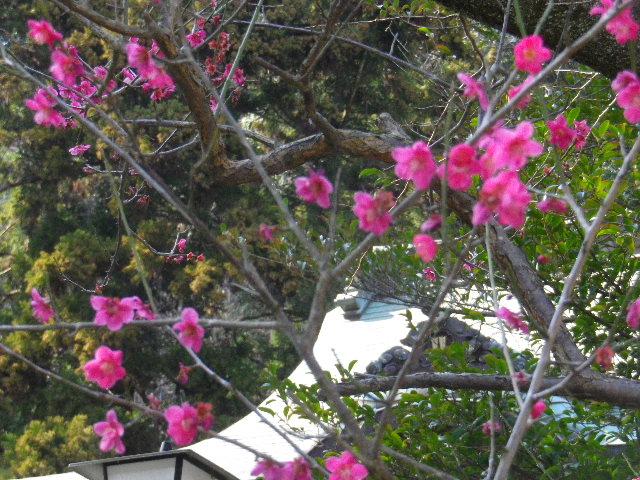 03-2) 社殿前階段下の紅梅 _ 16.03.04 鎌倉「御霊神社」の河津桜と若木の梅