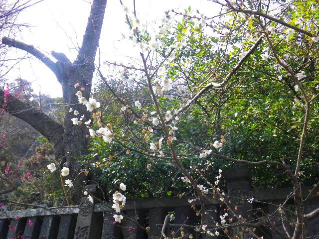 04-1) 社殿前階段下の白梅 _ 16.03.04 鎌倉「御霊神社」の河津桜と若木の梅