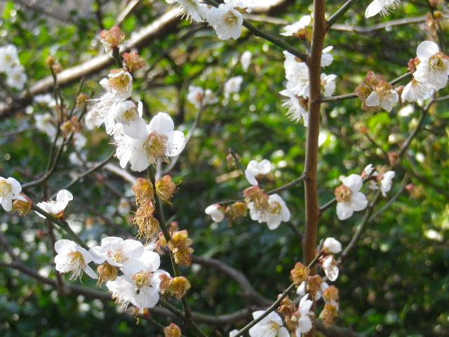 04-2) 社殿前階段下の白梅 _ 16.03.04 鎌倉「御霊神社」の河津桜と若木の梅